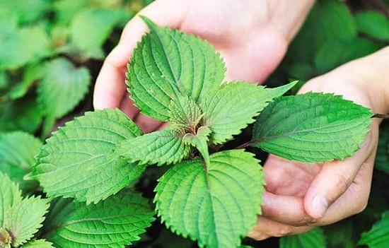 Lá tía tô vốn đã quen thuộc với người Việt như một loại rau thơm nhưng ít ai biết đến công dụng làm đẹp của nó