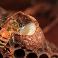 Tác dụng của sữa ong chúa đối với sức khỏe của con người
